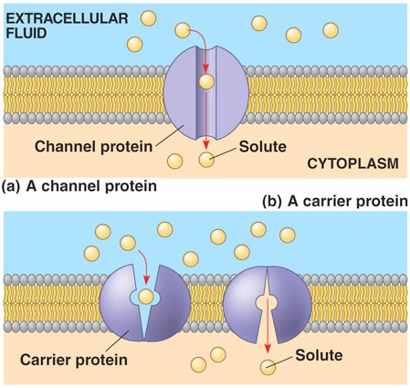 Function of cell membrane
