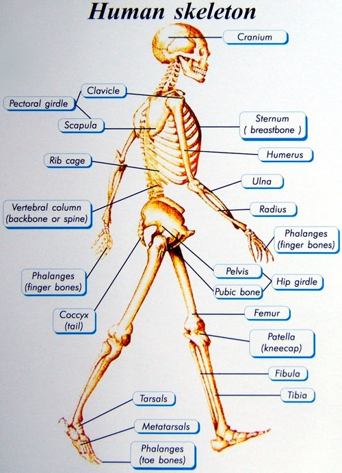 Human skeletal system assignment help biology assignment help human skeletal system ccuart Image collections