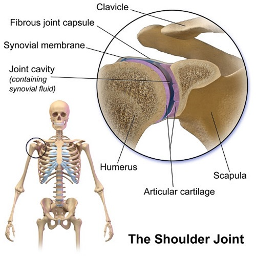 Joints of shoulder girdle