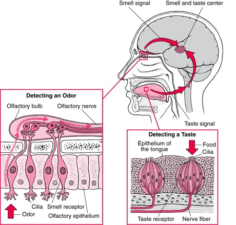 Olfactory system and other sensory organs