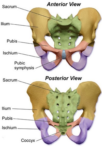 pelvic girdle of lower limb
