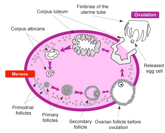 Physiology of female reproductive system