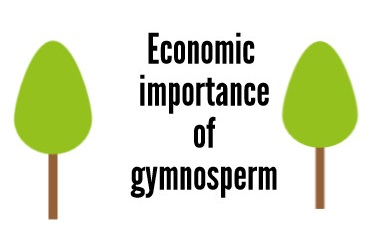economic-importance-of-gymnosperm