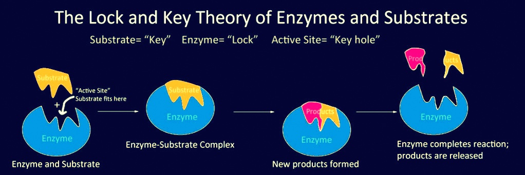 catalytic power and specificity of enzymes help code