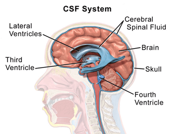 cerebrospinal system