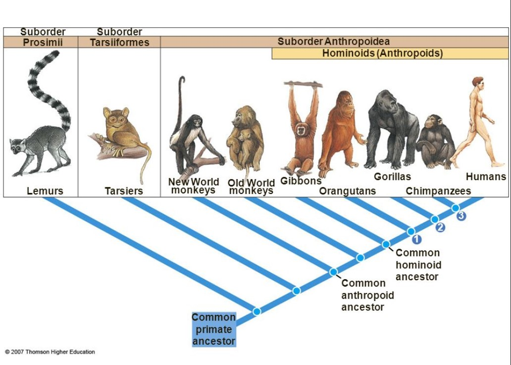 cladogram of humans and other living primates