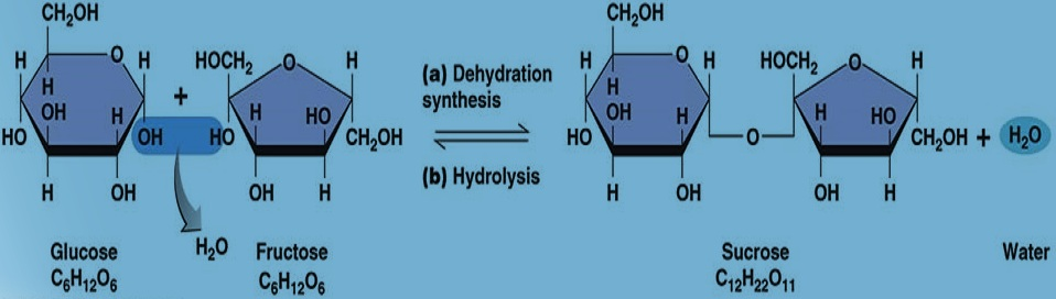 Dehydration Synthesis help code