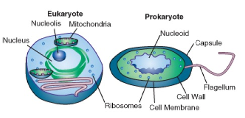 Eukaryotic cell examples