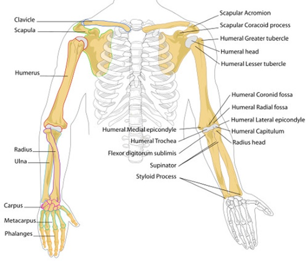 Joints of arm