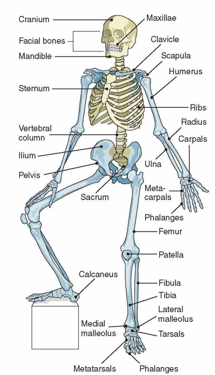 Musculo-skeletal system