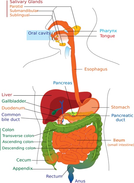 Physiology of digestive system