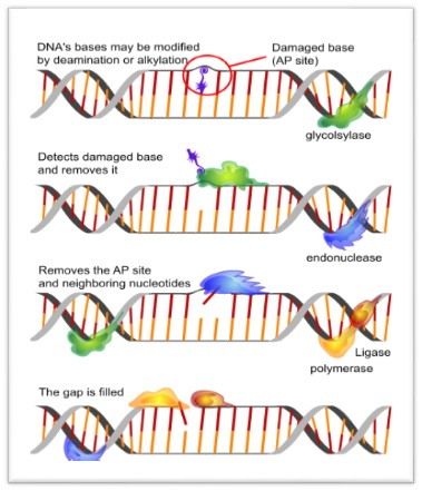 Types of DNA repair
